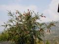 PflanzenOstbhutanSubtropisch -027