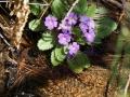 PflanzenOstbhutanSubtropisch -062