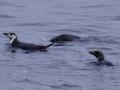 Jan2020_GibbsIsland_Antarctic-028