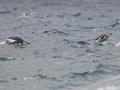 Jan2020_GibbsIsland_Antarctic-046