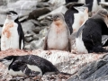Jan2020_GibbsIsland_Antarctic-187