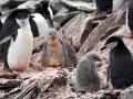 Jan2020_GibbsIsland_Antarctic-194