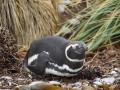 Jan2020_Falkland_CypsyCove-110