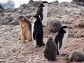 Jan2020_HannahPoint_Antarctic-043