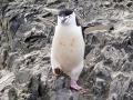 Jan2020_HannahPoint_Antarctic-052